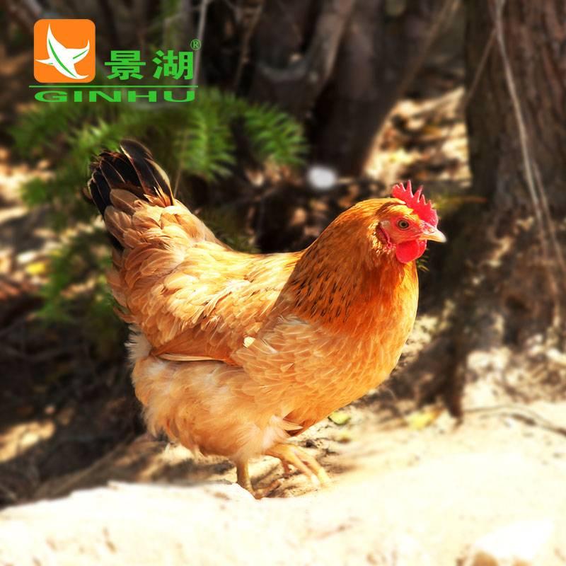 安徽有机老母鸡 新鲜冷冻鸡肉 高山散养土鸡 生鲜活鸡 月子鸡1只
