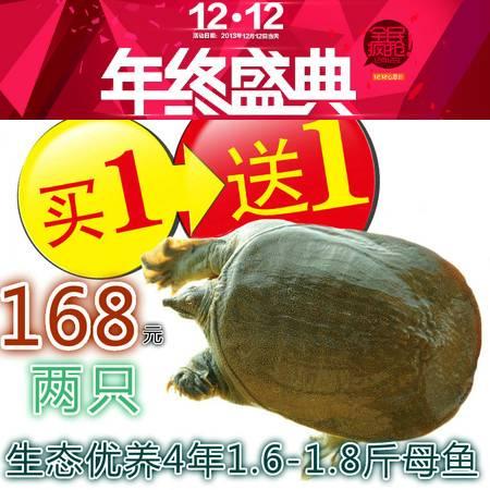 [买一送一送同款]怀远白莲坡生态甲鱼自然生长4年以上750g-800g团鱼水鱼中华鳖鲜活包邮
