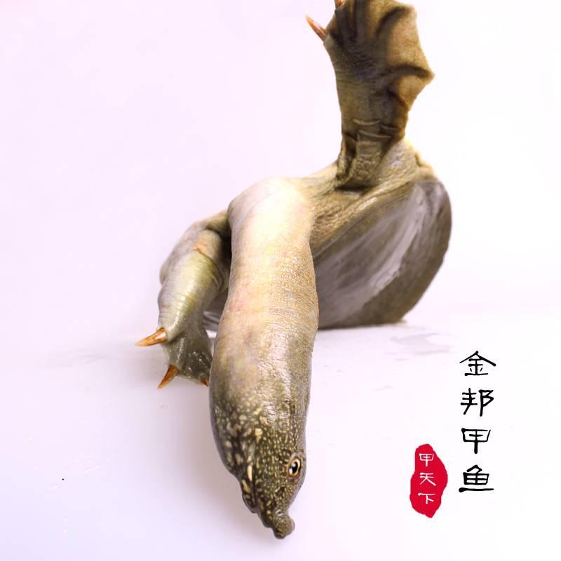 【买一送一】金邦生态富硒甲鱼自然生长4年以上1.6斤甲鱼水鱼团鱼中华鳖礼盒装鲜活包邮