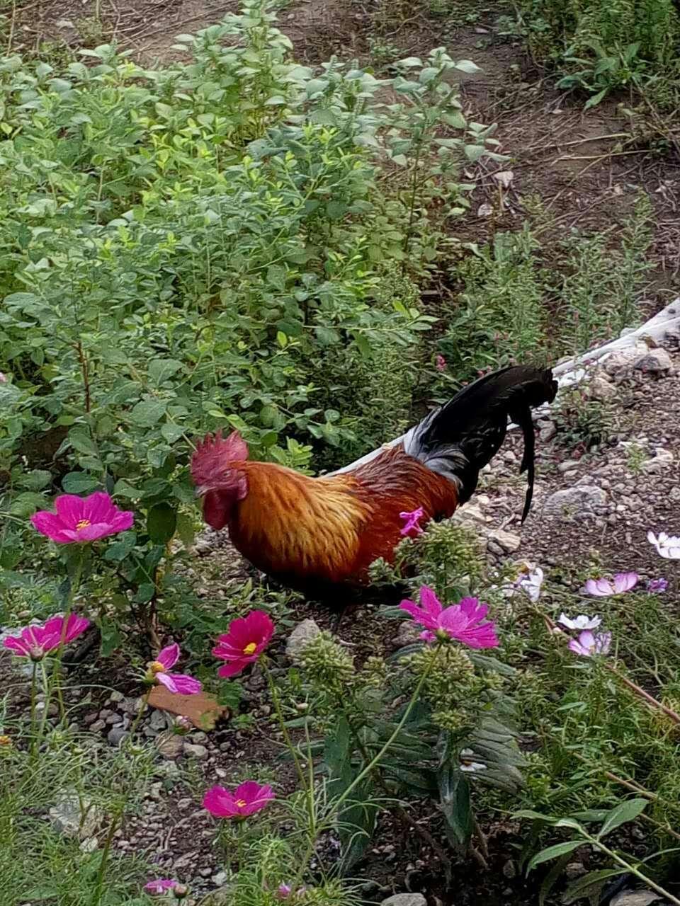 【长白山馆】誉仙园  散养鸡
